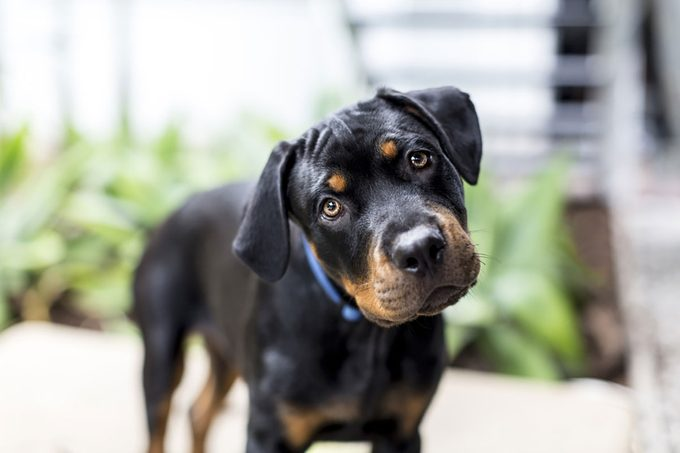Rottweiler puppy looking to camera with head tilted