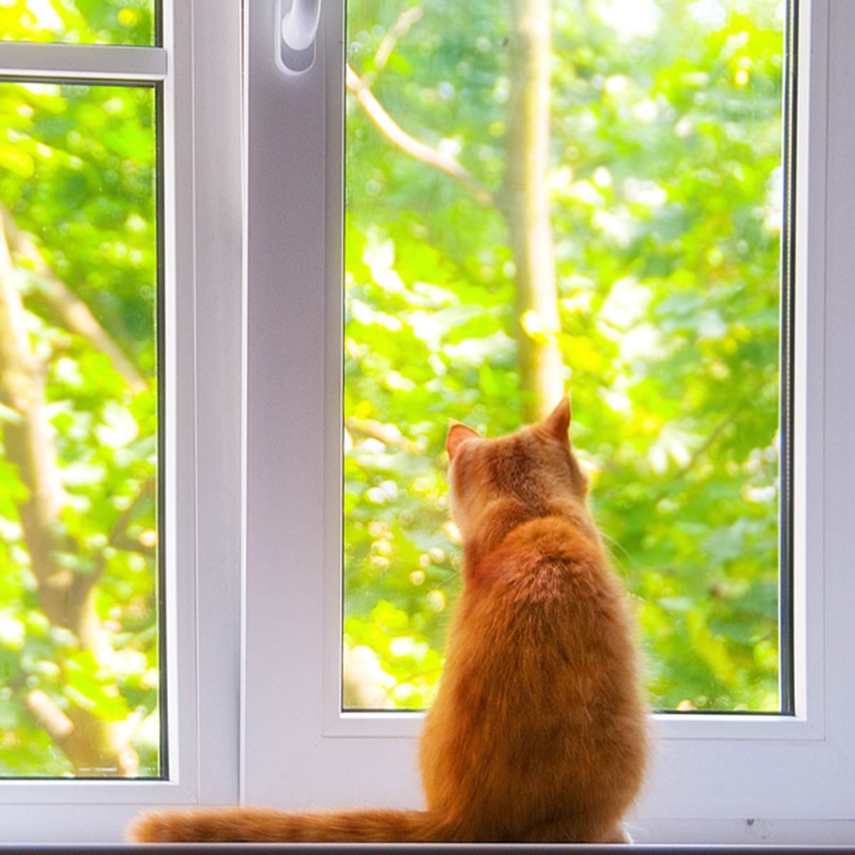 red cat on the window