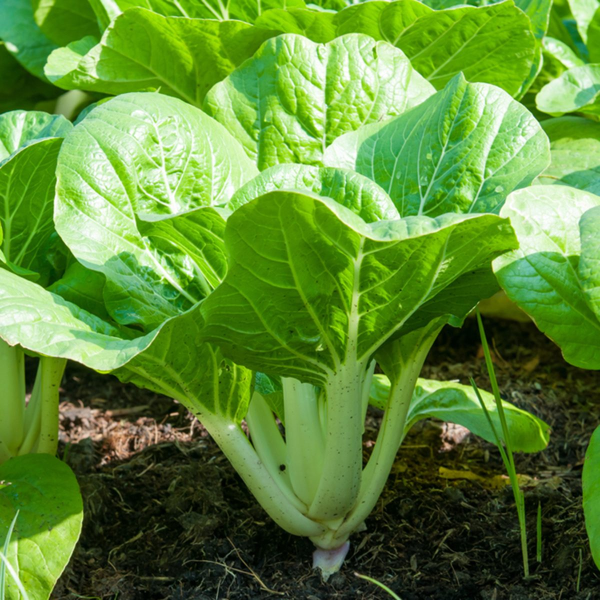 fresh green bok choy