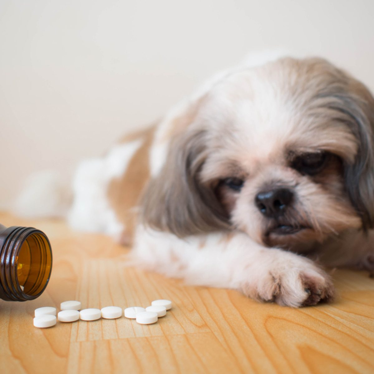 White medicine pills spilling out of bottle on wooden floor with blurred cute Shih tzu dog background