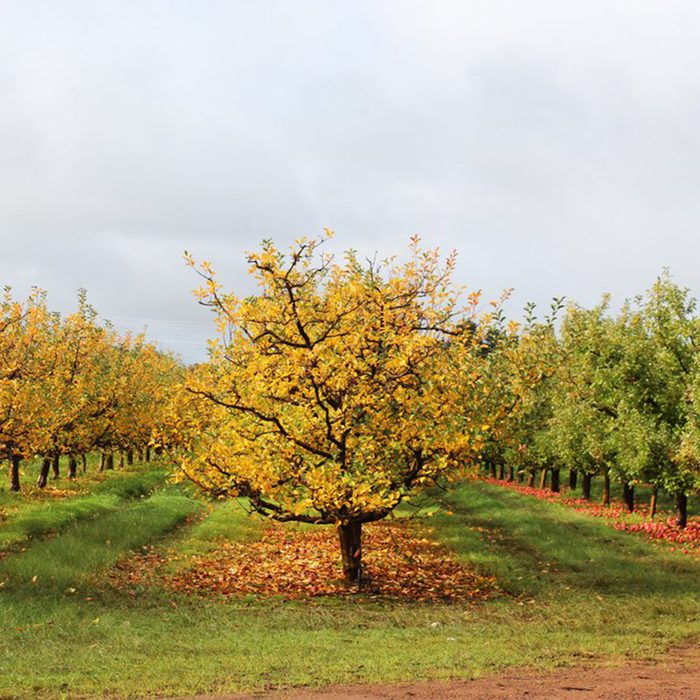 Rows of apple trees