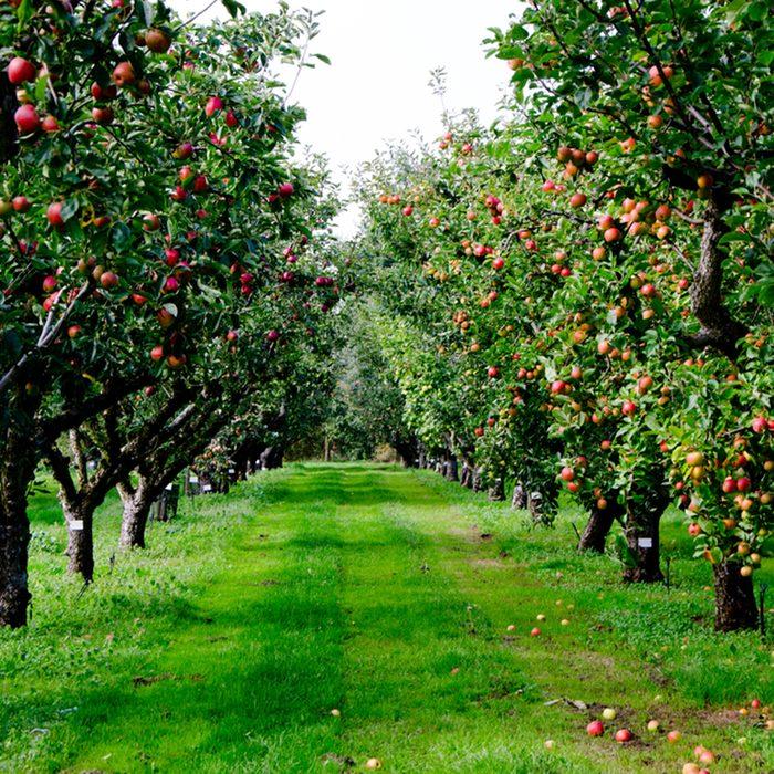 Autumn apple tree grove