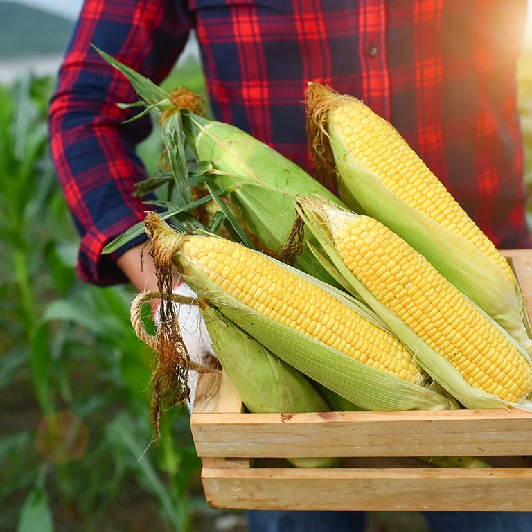 Corn harvest Corn farmer Corn harvest Growing corn Organic Farming, Organic Farming,