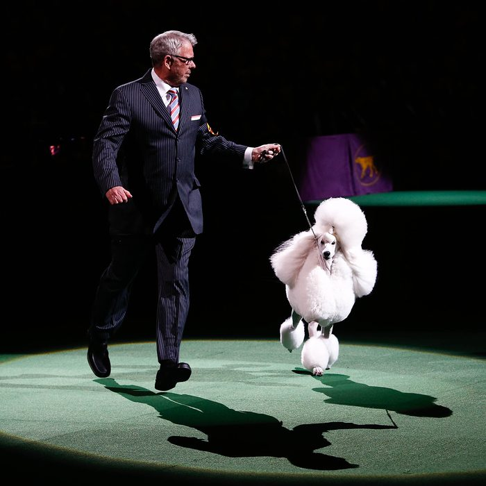 Ally, a standard poodle, with handler Tim Brazier wins Reserved Best in Show at 138th Westminster Kennel Club Dog Show at Madison Square Garden on February 11, 2014 in New York City.