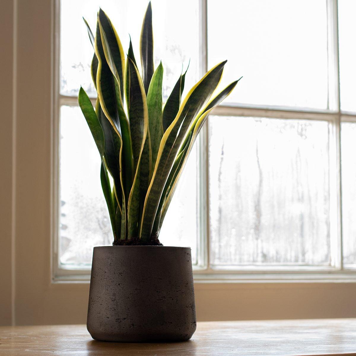 A Sansevieria trifasciata indoor plant, next to a nice white interior.