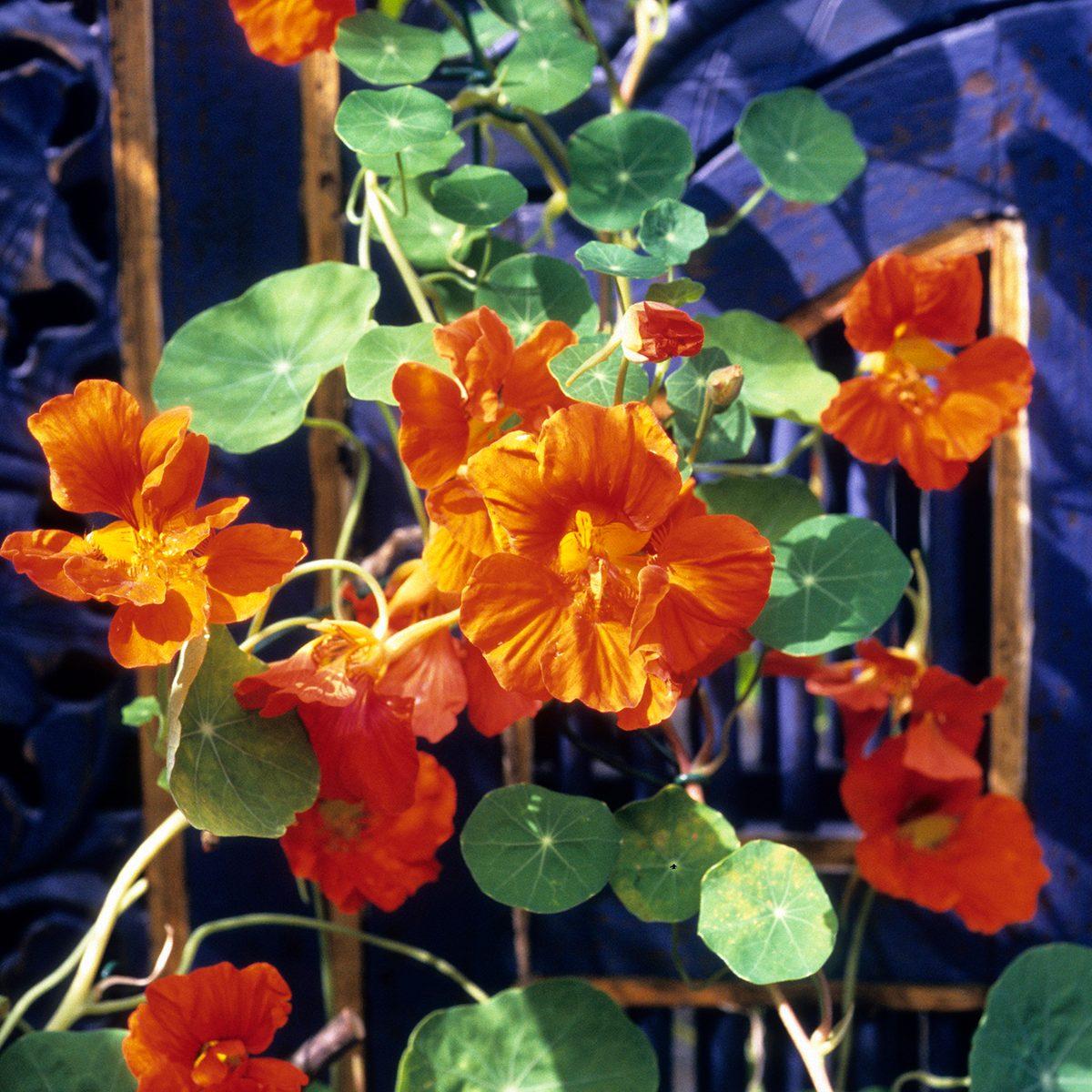 Rankende Kapuzinerkresse (Tropaeolum majus) mit orangen Bl