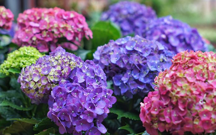 Close-Up Of Purple Hydrangea Flowers In Park