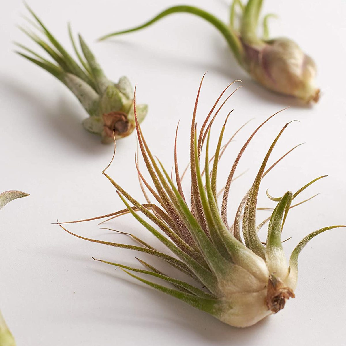 Shop Succulents   Live Air Plants Hand Selected Assorted Variety of Species, Tropical Houseplants for Home Décor and DIY Terrariums, 4-Pack