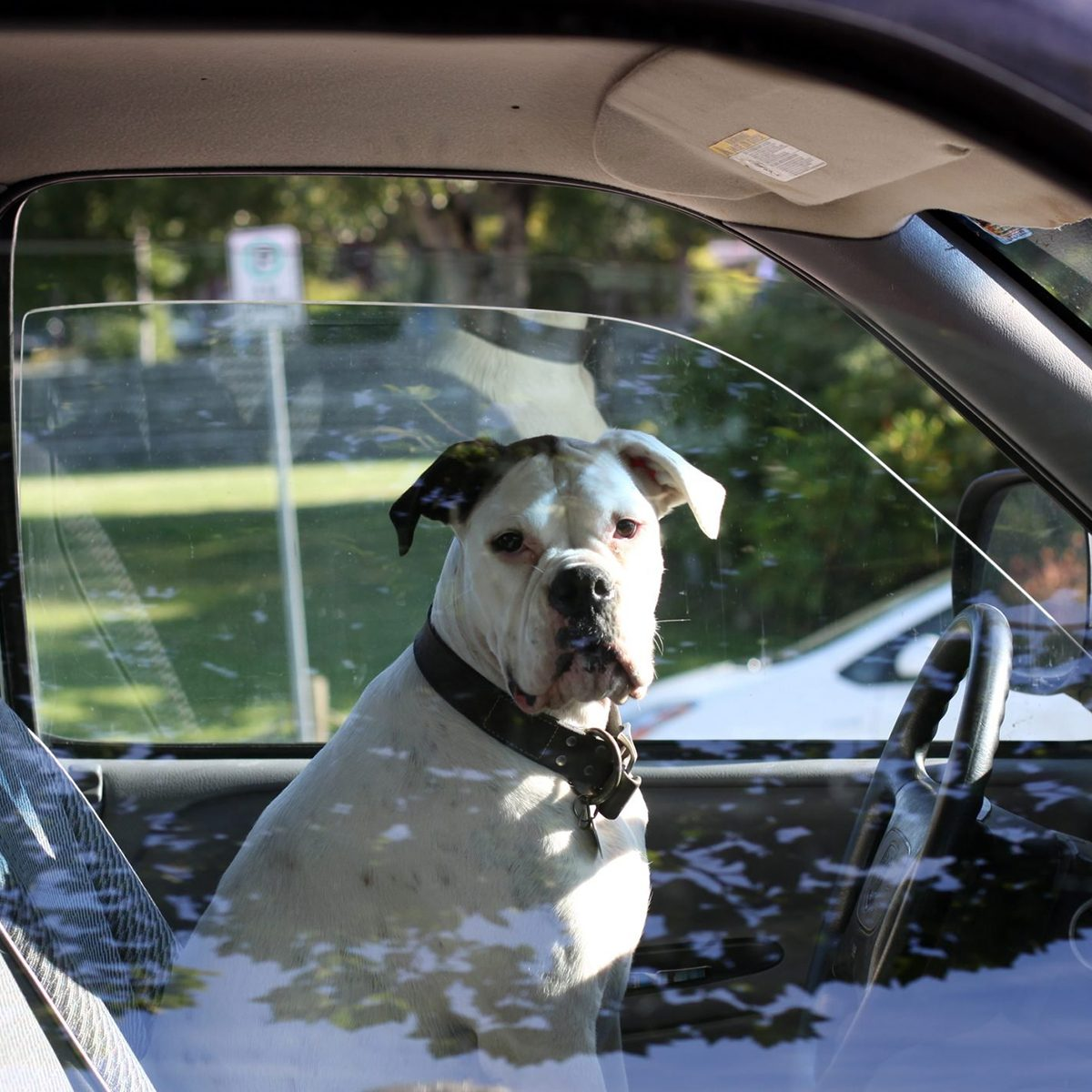 Dog sits in driver's seat of vehicle.Dog looks towards camerasteering wheel visibleRrflections on window glass.