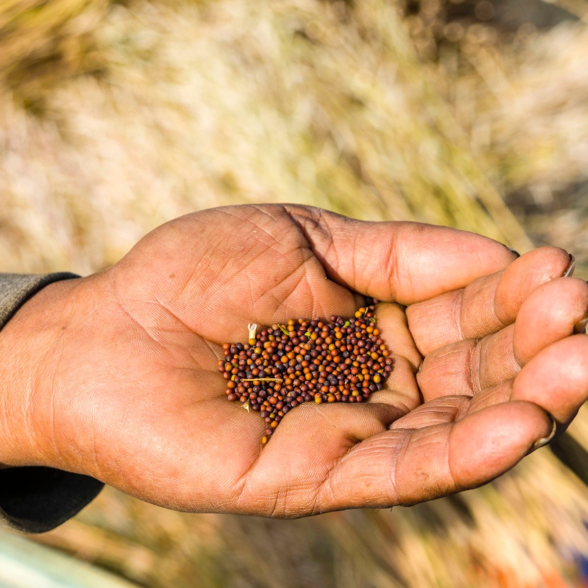 indian spices KOLKATA, WEST BENGAL, INDIA - 2017/02/06: Mustard seeds in the hand of a farmer in the rural surroundings of the suburb New Town. (Photo by Frank Bienewald/LightRocket via Getty Images)